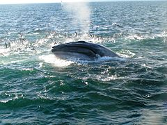 Bryde's Whale - Auckland, New Zealand.jpg
