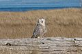 Bubo scandiacus Damon Point 10.jpg