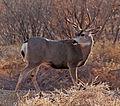 Buck (4152678649).jpg