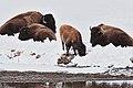 Buffalo Herd with Calf.jpg