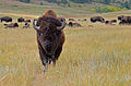 Buffalo at Custer State Park, South Dakota.jpg