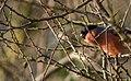 Bullfinch (62599507).jpeg