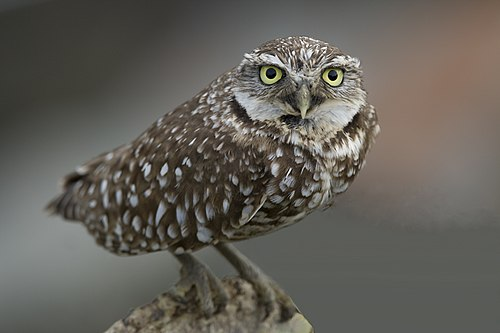 500px burrowing owl (athene cunicularia) (2261438123)