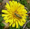Bush Cricket Nymph. Tettigoniidae (32163841795).jpg