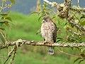 Buteo platypterus (Gavián aliancho) - Flickr - Alejandro Bayer (1).jpg