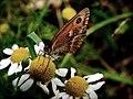 Butterfly brown.JPG