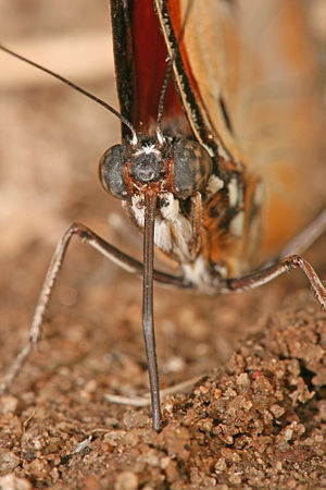 Proboscis - Butterflies have two antennae, two compound eyes, and a proboscis.