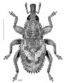 COLE Curculionidae Ampagia rudis.png