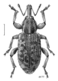COLE Curculionidae Steriphus diversipes lineata.png