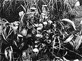 COLLECTIE TROPENMUSEUM Bekerplanten op de vulkaan Goenoeng Lamongan Oost-Java TMnr 60020187.jpg