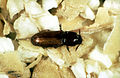 CSIRO ScienceImage 2764 Smalleyed Flour Beetle Palorus ratzeburgi.jpg
