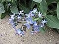 Caccinia macranthera v crassifolia -巴黎植物園 Jardin des Plantes, Paris- (9198103757).jpg