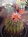 Cactus con floración rosa.jpg