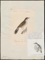 Calamodyta certhiola - 1842-1848 - Print - Iconographia Zoologica - Special Collections University of Amsterdam - UBA01 IZ16200107.tif