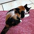 Calico-kitten.jpg