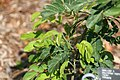 Calliandra haematocephala Alba 0zz.jpg