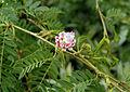 Calliandra surinamensis 01.JPG