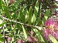 Callistemon 'Violaceus' (Myrtaceae) leaves.JPG