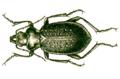 Calosoma denticolle.png