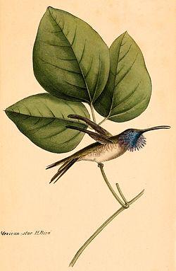 Calothorax lucifer 1841.jpg