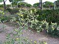 Calycotome villosa1.jpg