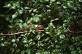 Caméléon femelle - Faune et flore de l'île de La Réunion.jpg