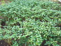 Camellia sinensis (DITSL).JPG