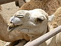 Camelus dromedarius - dromedary head - Dromedarkopf - dromadaire hure - Oasis Park - Fuerteventura - 07.jpg