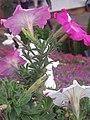 Cameron Highlands Flowers.jpg
