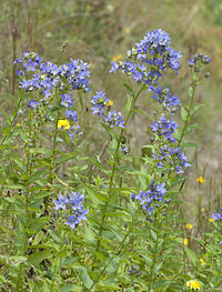 Campanula lactiflora - Milky Bellflower - Kuspida 2.jpg