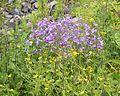 Campanula patula & Ranunculus acris.jpg