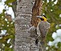 Campo Flicker (Colaptes campestris) male (27213867114).jpg