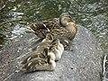 Canards colverts femelle et juvéniles (Anas platyrhynchos) (1).jpg