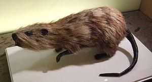 Museo de la Naturaleza y el Hombre - Reconstruction of Tenerife Giant Rat.