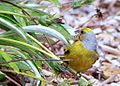 Cape Canary, Serinus canicollis, male at Kirstenbosch (8236008132).jpg