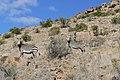 Cape Mountain Zebras (Equus zebra zebra) (31706002074).jpg