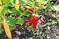Capsicum baccatum Aji 2zz.jpg
