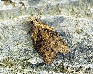 Capua vulgana Species of moth