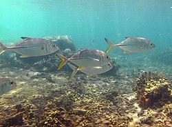 Un banc de carangues, à la Réunion