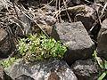 Cardamine trichocarpa Hochst. ex A.Rich. (6231134838).jpg