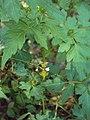 Cardiospermum halicacabum 19.JPG