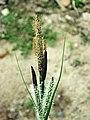 Carex acutiformis inflorescens (17).jpg