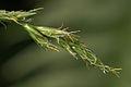 Carex canariensis (02).jpg