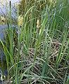 Carex elata plant (08).jpg