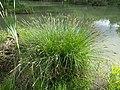 Carex paniculata sl4.jpg