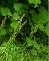 Carex stipata ookawazusg01.jpg