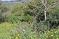 Carmel Flora - Hai-Bar Nature Reserve IMG 0785.JPG