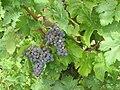 Carmenere grapes.jpg