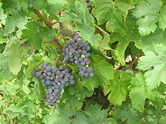 Carmenere grapes.jpg