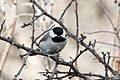 Carolina Chickadee South Llano River State Park Llano TX 2018-02-24 16-31-12 (40540931252).jpg